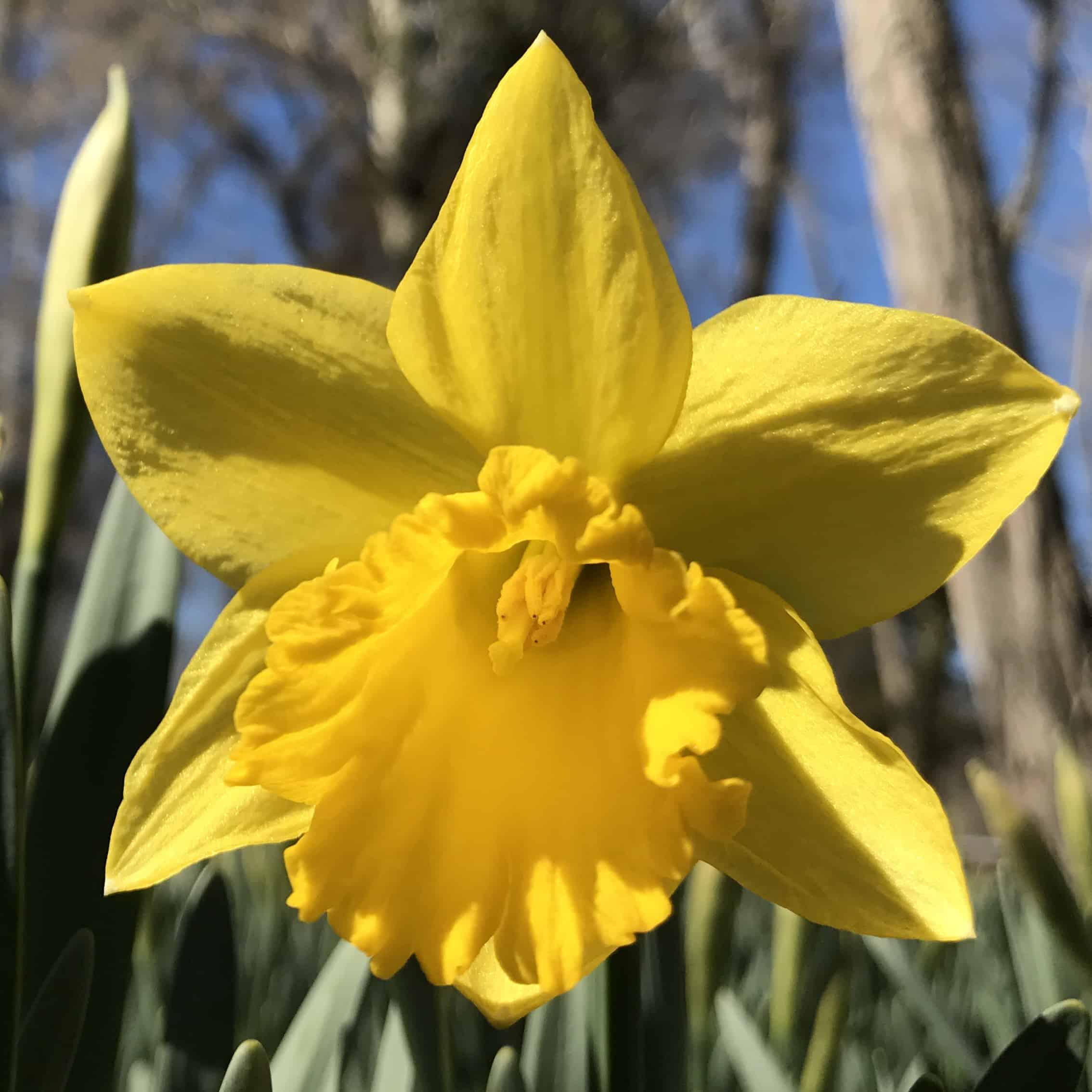 MA Events Nantucket Events Daffodil